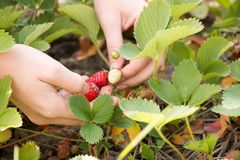 Woman hand with fresh strawberries collected in the garden. Royalty Free Stock Image