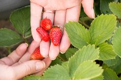 Woman hand with fresh strawberries collected in the garden. Royalty Free Stock Photos