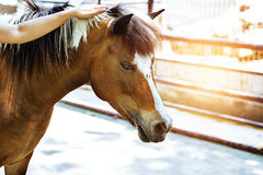 Woman hand gently stroked the horse`s mane Royalty Free Stock Image