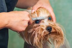 Woman hand Grooming Yorkshire terrier dog royalty free stock images