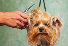 Woman hand Grooming Yorkshire terrier dog royalty free stock photo