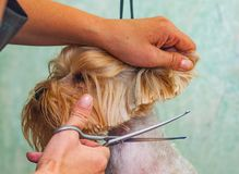 Woman hand Grooming Yorkshire terrier dog stock images