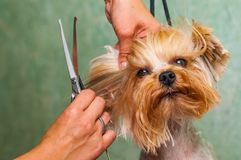 Woman hand Grooming Yorkshire terrier dog royalty free stock photography