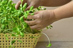 Woman hand growing green sunflower sprout in basket at home.  stock photography