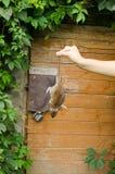 Woman hand hold dead rat rural cellar door. Woman hand hold dead rat on background of rural wooden basement cellar door Royalty Free Stock Images