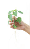 Woman hand hold green tree plan with root. Royalty Free Stock Image