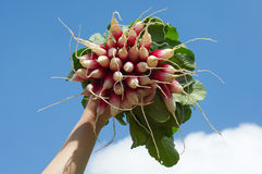 Woman hand holdig a bunch of long radish. In front of sky Stock Photography