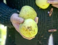 Woman hand holding apple damaged by hail. Shallow dof Stock Photos