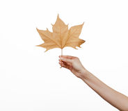 Woman hand holding an autumn leaf Stock Photos
