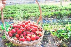 Woman hand holding basket of fresh strawberries Stock Photos
