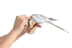 Woman hand holding and caressing a cockatiel bird Royalty Free Stock Image