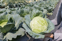 Woman hand holding fresh cabbage harvest from field plant. Royalty Free Stock Images