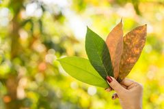 Woman hand holding green leaf against beautiful autumn tree in a forest with sunlight. Nature background Stock Photo
