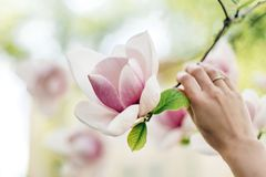 Woman Hand Holding Magnolia Pink Flower In Sunny Green Park. Ten Royalty Free Stock Photography