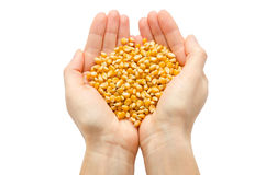 Woman hand holding organic corn seed. Royalty Free Stock Images