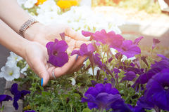Woman hand holding purple flower in the garden stock photography