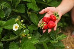 Woman hand holding ripe strawberries, leaves and strawberry flow royalty free stock photo