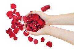 Woman hand holding rose petals Stock Photo