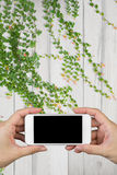 Woman hand holding and using smart phone with  screen and wooden wall and wooden floor with ornamental plants. Royalty Free Stock Images