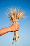 Woman hand holding wheat spikes against blue sky Stock Images