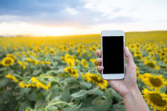 Woman hand holding white smartphone with sunset at sunflower field Stock Images
