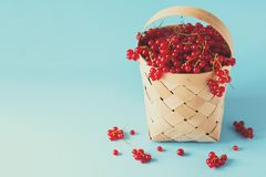 Woman hand holding wooden basket with red currants on blue background. Summer harvest. Healthy eating concept. Toned Royalty Free Stock Photography