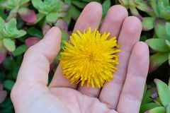 Woman hand holding a yellow dandelion flower closeup - Image royalty free stock images