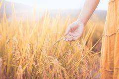 Woman hand holding young rice with tenderness. In the paddy field in vintage color tone Stock Images