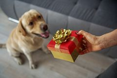 Woman hand making gift for dog royalty free stock images