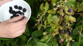 Woman hand pick gather ripe blackberry rubus plant bush dish stock footage