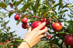 Woman hand picking an apple Royalty Free Stock Photo