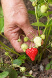 Woman Hand Picking First Strawberry Stock Photo