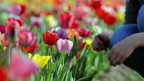 Woman hand picking fresh tulip flower. In vibrant colorful field near Amsterdam, Netherlands stock footage