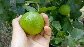 Woman hand picking lime on lime tree. Woman hand picking lime on lime tree in garden, Focus a lemon on top. Agriculturist and harvest background. Tropical fruit royalty free stock image
