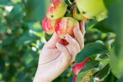 A woman hand picking a red ripe apple from the apple tree. Harvest time stock photo