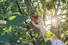 A woman hand picking a red ripe apple from the apple tree Stock Images