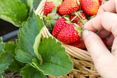 Woman hand picking a strawberry. Stock Photo