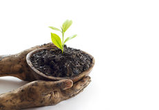 Woman hand protect young tree on soil in wooden bowl on white background Royalty Free Stock Photography