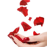 Woman hand with rose petals stock photography