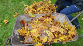 Woman hand rubber boots load barrow autumn leaves garden. Woman hands load barrow with colorful autumn leaves in garden stock video footage