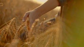 Woman hand running through wheat field. Girl hand touching wheat ears closeup.Harvest concept. Harvesting. Woman hand. Running through wheat field stock video