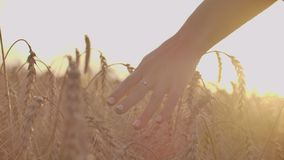Woman hand running through wheat field. Girl hand touching wheat ears closeup.Harvest concept. Harvesting. Woman hand. Running through wheat field stock video footage