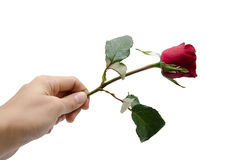 Woman hand's holding red rose on white background Stock Photography