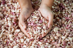 Woman hand selecting fresh garlic Stock Photography