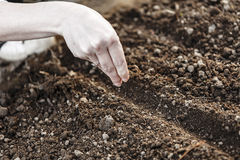 Woman hand sowing seed Stock Images