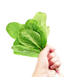 Woman hand with spinach Stock Photography