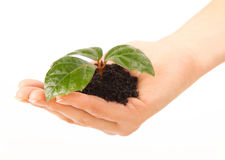 Woman hand take green plant Royalty Free Stock Photo