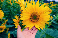 Woman hand take photo at sunflower field Stock Photography