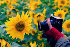 Woman hand take photo at sunflower field Stock Images