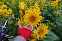 Woman hand take photo at sunflower field Royalty Free Stock Image